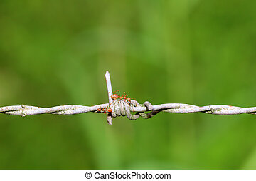 the ant on old rusty barbed wire