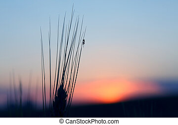 the ant sits on the ear of wheat on sunset background