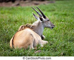 the antelope lies on a grass
