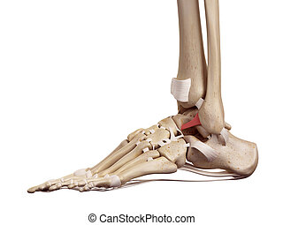 The anterior talofibular ligament