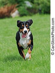 The Appenzeller Sennenhund is a medium-size breed of dog,...