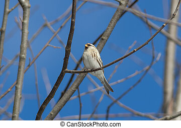 The Arctic redpoll on the branch in winter