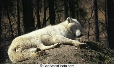 The Arctic wolf (Canis lupus arctos), also known as the...