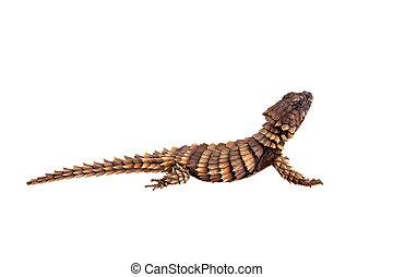 The armadillo girdled lizard on white - The armadillo ...