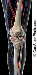 The arteries and veins of the knee