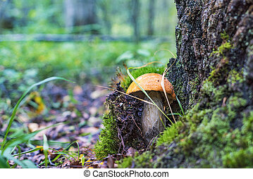 The aspen mushroom grows under a tree in the forest .