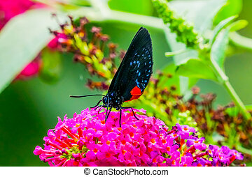 The Atala Butterfly Pink Flowers Drinking Nectar