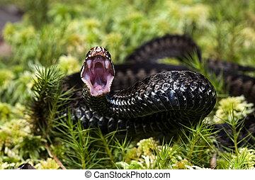 The attack. - Vipera berus, the common European adder or...