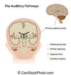 The auditory pathways, eps10