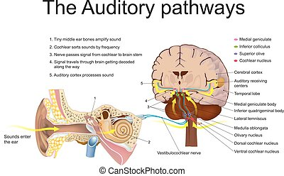 The auditory pathways - The auditory system is the sensory...