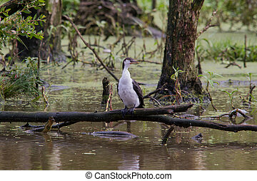 The Australian Pied Cormoran also known as the Pied Cormorant or Pied Shag