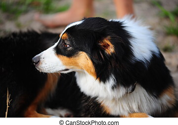 The Australian sheep-dog - An Australian Shepherd dog head ...