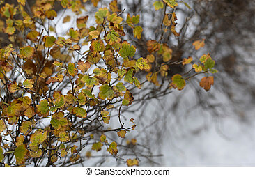 The autumn bush with yellow foliage under the first snow -...