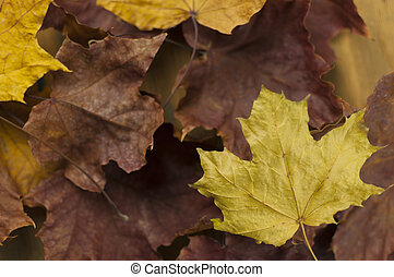 The autumn maple leaves on wooden background