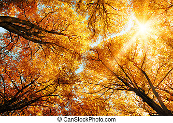 The warm autumn sun shining through the golden canopy of tall beech trees