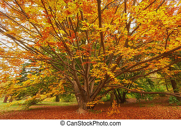 The autumn sun warmly shining through the beautiful branches of a large beech tree