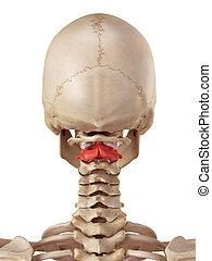 The axis bone