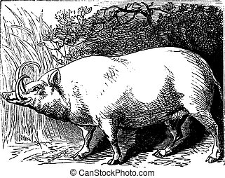 The Babirusa or Pig-deer. Vintage engraving.