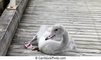The baby bird of a swan cleans plumelets on the mooring
