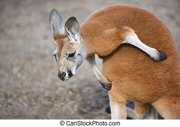 The baby kangaroo