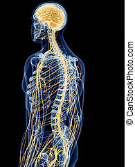 The back nerves - medically accurate illustration of the ...