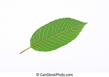 Kratom leaf (Mitragyna speciosa) - The back of Kratom leaf (...