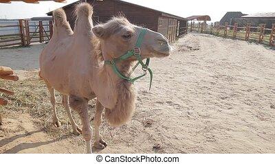 The Bactrian camel. Bactrian camel.