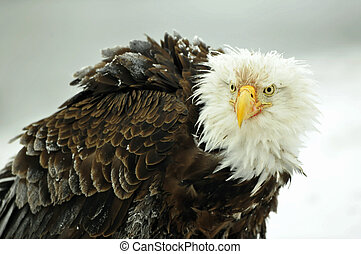 The Bald eagle ( Haliaeetus leucocephalus ) portrait