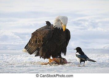 The Bald eagle ( Haliaeetus leucocephalus ) sits on snow and...