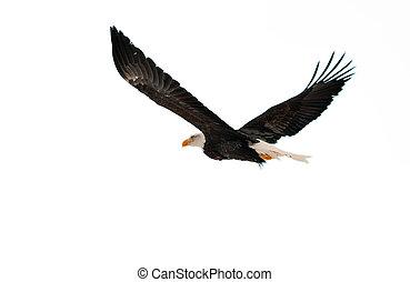 The Bald Eagle (Haliaeetus leucocephalus) - BALD EAGLE (...
