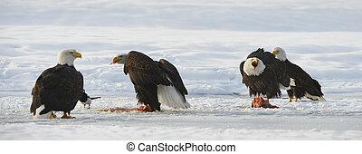 The Bald eagles ( Haliaeetus leucocephalus ) - The four Bald...