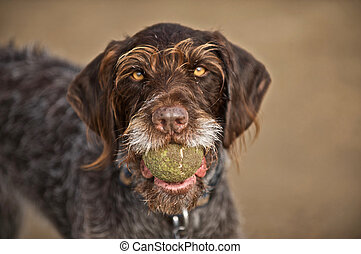 The ball is being presented - Still playful, the pointer ...