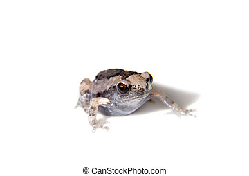 The banded bullfrog isolated on white background - The ...