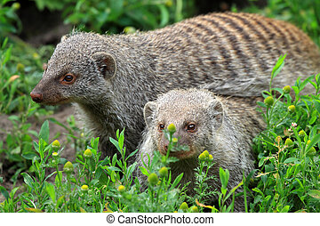 The banded mongoose