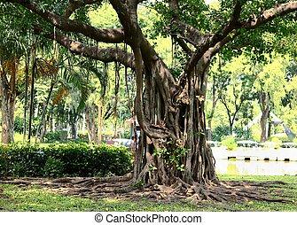 banyan tree - the banyan tree in the park