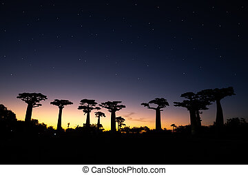 The baobab avenue at sunset with many stars in the sky