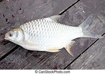 The Barb of Cyprinidae fish. - The Barb of Cyprinidae fish ...