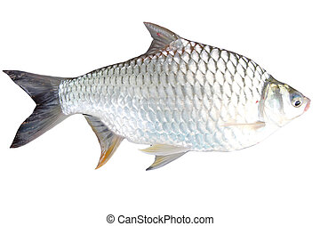 The Barb of Cyprinidae fish on white background.