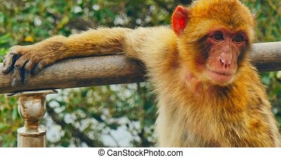 The barbery macaques face - The close view of barbery...