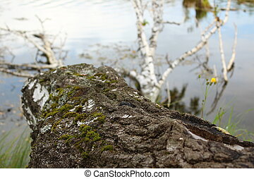 The bark of a fallen birch tree in the lake