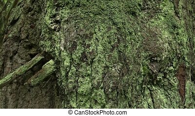 The bark of old virgin spruce forest in the NPR Praded,...