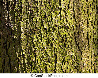 The bark of the old pine turned green. The texture of the tree bark is ribbed. Sunny wood background.