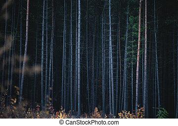 The Bark Trunks of Dense Coniferous Forest.