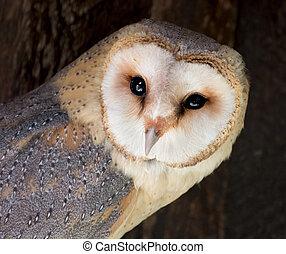Barn owl (Tyto alba) - The Barn owl (Tyto alba) is the most ...