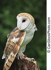 Barn Owl - The Barn Owl (Tyto alba)