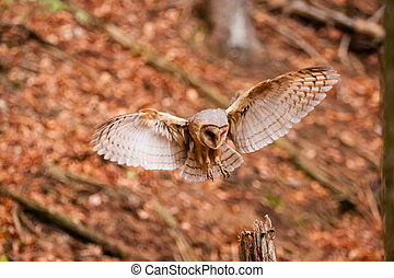 The Barn Owl Tyto alba - The Barn Owl or Tyto alba flying