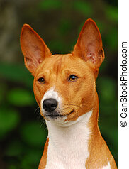 The Basenji is a breed of hunting dog that was bred from stock originating in central Africa. Most of the major kennel clubs in the English-speaking world place the breed in the Hound Group; more specifically, it may be classified as belonging to the sighthound type. The Federation Cynologique ...