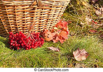 The basket of Viburnum berries in the autumn