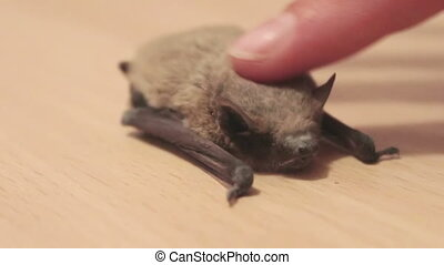 The bat lies on the ground, a man stroking her finger.