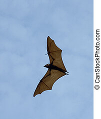 the bat - flying fox (huge bat) against blue sky